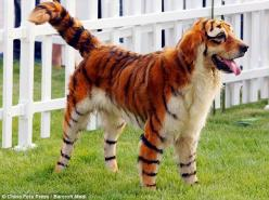 Asians blow my mind sometimes...dying their pet's hair to make them look like wild animals. This retriever is made to look like a tiger.: Halloween Costume, Animals, Dogs, Pets, Funny, Tigers, Tiger Dog, Golden Retriever