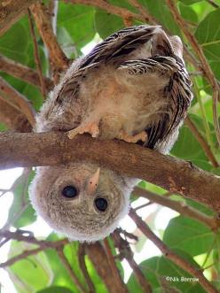 Baby Wood Owl: Animals, Baby African, Birds, Woods, Peek A Boo, Owls