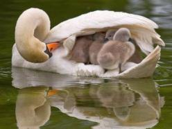 Beautiful shots of baby animals with their moms and dads: Babies, Animals, Mothers, Nature, Beautiful, Swan, Birds, Photo