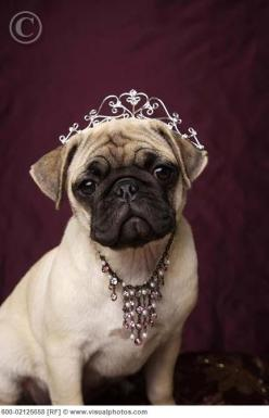Being a princess isn't all it's cracked up to be. ~Princess Pug Diana: Animals, Pug Princess, Pug Life, Pet, Princess Pug, Pugs Pugs