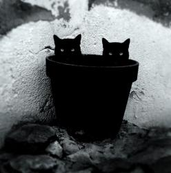black cat, black cat: Twin, Animals, Chat Noir, Flower Pot, Black Cats, White, Double Trouble, Blackcats, Kitty