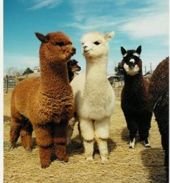 Blue Moon Ranch in Woodland, Utah (20 minutes from Park City) is an alpaca ranch that has the best Alpaca Cam.  You can see a variety of Alpacas anytime of day.  They have other photos of the day, ...: Farm, Flames, Animals, Creature, So Cute, Baby Llama,