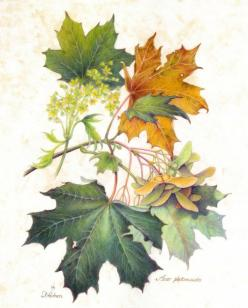 Botanical Illustration: Art Illustrations Posters, Fall Botanical, Botanical Prints, Art Botanical, Botanical Art, Maple Leaves, Autumn Leaves Illustration, Botanical Illustration Fall
