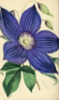 "Clematis 'Thomas Moore' (1869) The Florist and Pomologist, London, ""Journal of Horticulture"": 1869, Botanical Prints, Thomas Moore, Botanical Illustrations, Clematis Thomas, Botanical Art, Florists, Flower"