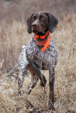Cleo, a German shorthaired pointer from Quakertown, Pennsylvania - Gentle, affectionate & even tempered. It is Alert, biddable & very loyal.: Shorthaired Pointers, Shorthair Pointer, German Shorthaired Pointer, Bird Dogs, Short Haired Pointer, Gsp