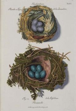 Collection of nests of different birds: 'Sammlung von Nestern und Eyern verschiedener Vögel..' by FC Günther and AL Wirsing, published between 1772 and 1786: Birds Nests, German Birds, Illustration, Art, Bird Nests, Antique, Birds Eggs Nests