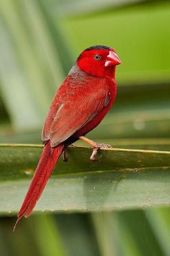 Crimson Finch (Australia, Indonesia, PNG): Crimson Finch, Estrildid Finch, Birdie, Beautiful Birds, Ave, Neochmia Phaeton