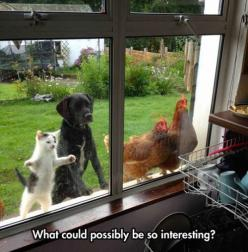 dog cat and chickens looking in window. what could possibly be so interesting: Chicken, Cats, Photos, Funny Animals, Dogs, Friends, Inside, Pets, Funny Picture