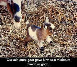 Double the mini, double the cute! Now if the second goat gives birth to a miniature miniature miniature goat, we're gonna need a magnifying glass to see it!: Miniature Goats, Babies, Pygmy Goat, Mini Goats, Babygoats, Minis, Baby Animals, Baby Goats,