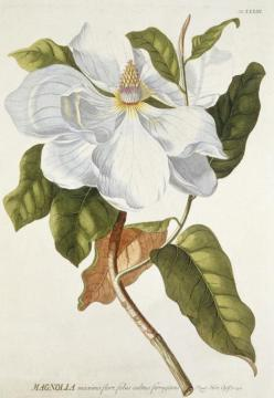 Ehret magnolia - National Museum Wales.  The mid-17th to mid-18th centuries saw the Golden Age of scientific illustration. In this age of curiosity, exploration, experiment, the artist complimented the scientific process.  Georg Dionysius Ehret (1708-1770