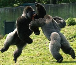 Epic gorilla battle (Anybody who wants to adopt a baby chimp or gorilla, should keep this picture in mind! These animals are NOT playing around!): Gorillas Fighting, Nature, Animal Kingdom, Wild Animals, Ape, Funny, Wildlife, Primate, Monkey