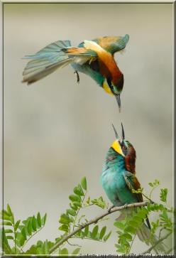 European Bee-eater, Merops apiaster, is a near passerine bird in the bee-eater family Meropidae. It breeds in southern Europe and in parts of north Africa and western Asia. It is strongly migratory, wintering in tropical Africa, India and Sri Lanka. This