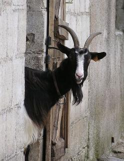 Farm resident………IF THIS GUY IS IN A BAD MOOD, DON'T TURN YOUR BACKSIDE TO HIM………..YOU COULD BE IN FOR A SURPRISE……………ccp: Animals ❶ Farmyard Range, Farm Animals, Wild Animal, Sheep Goats Donkeys, Lambs Goats, Farm Resident, Goat Pictures, Photo, Goats