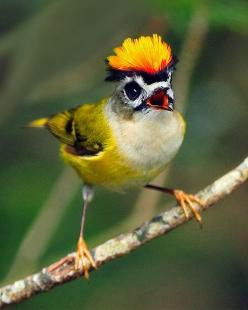 Firecrest aka common firecrest bird..  A very small passerine bird in the kinglet family. It breeds in most of temperate Europe and northwestern Africa: Animals, Nature, Creature, Birdie, Firecrest Bird, Pretty Birds, Beautiful Birds