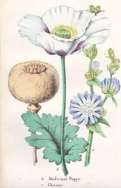 "#flowershop ""Summer set lip to earth's bosom bare,  And left the flushed print in a poppy there.  ~Francis Thompson, ""The Poppy,"" 1891"": Flower Botanical, Art Botanicals, Botanical Flowers, Botanical Poppy, Botanical Prints, Botanical Illustrations, Art P"