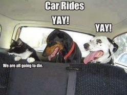 funny animals: Cats, Animals, Dogs, Car Rides, Cars, Pet, Funny Stuff, Funny Animal