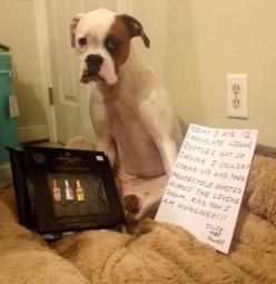 funny dog shaming: Drunk puppy: Dog Shame, Animals, Dog Shaming, Boxer, Pet Shaming
