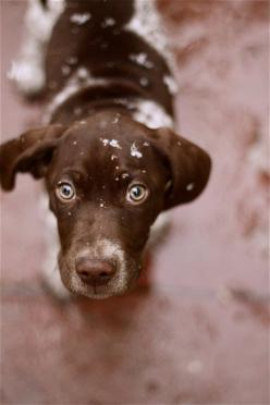 German Short-haired pointer. Shelby LaRue. We call her LooLoo :): Doggie, Dogs, Baby, Gsp, Friend, Eye