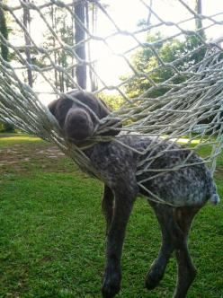 German Shorthaired Pointer having a little difficulty with a hammock.: Funny Animals, Picture, Dogs, Doggies, German Pointer, Hammock, Gsp, Sunday