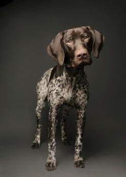 German Shorthaired Pointer- I love pointers! They are vastly underrepresented on the board. I agree.: Dogs, German Shorthaired Pointer, Short Haired Pointer, Gsp, Animal