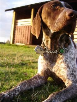 german shorthaired pointer. Looks like Daddy's Jake (my other little brother...lol): German Shorthaired Pointer, Amazing Dogs, Cutie Baby Dogs, Dog Gsp, Art Ink Dogs, Beautiful Dogs, Boomer Baby Dogs