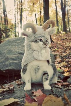 Goat cat...: Goats, Cats, Animals, Costumes, Pet, Mountain Goat, Funny, Kitty