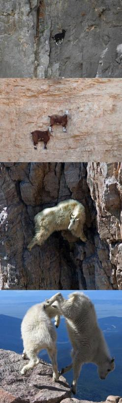 Goats doing what they usually do…: Funny Animals, Animals Goat Esque, Animals Bring, Mountain Goats, Goats Rocks Climbing Mountain, Animals Goats, Animals Group, Funny Stuff, Mountains Goats