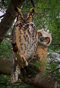 Great Horned Owls  masters of stealth, silence,great intelligence & flight navigation masters!!!: Animals, Nature, Greathornedowl, Hoot Hoot, Beautiful Birds, Photo, Great Horned Owl