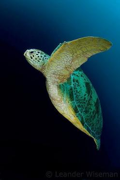Green Sea Turtle / Sipadan: Green Sea, Sea Life, Sea Creatures, Seaturtles, Turtles Tortoise, Favorite Animal, Sea Turtles