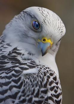 Gyrfalcon. The gyrfalcon (Falco rusticolus), also spelled gerfalcon, is the largest of the falcon species. The gyrfalcon breeds on Arctic coasts and the islands of North America, Europe, and Asia.: Animals, Nature, Creatures, Falcons, Prey, Beautiful Bird