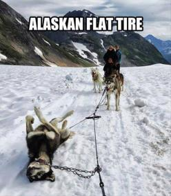 ha! so funny but looks sort of sad to me at the same time is that dog okay?: Animals, Dogs, Flat Tire, Funny Stuff, Alaskan Flat, Humor, Flats, Flattire