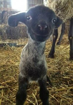 Happy goat :): Smiling Lamb, Animals, So Cute, Happy, Funny, Bad Day, Baby, Smile