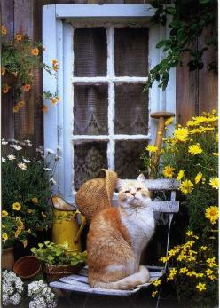 HOME & GARDEN: Fenêtres fleuries  |  cat on bench; yellow flowers; starw hat; window with lace curtain: Doors, Cats, Kitten, Animals, Kitty Kitty, Gardens, Windows, Flower, Country