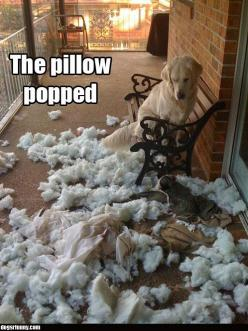 "I love when my dog makes a huge mess and then puts on the guilty face. When I ask, ""What's this?!?"" She'll roll on top of it, smiling, trying to hide the mounds of stuffed animal insides. So cute.: Animals, Dogs, Pet, Funny Stuff, Puppy, F"