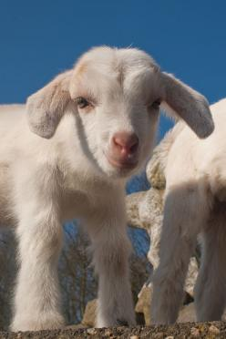 I never thought about owning a goat, always a lamb...but here we are! That face!!!: Farm Animals, White Lamb, Baby Lamb, Little Babies, Sweet Baby, Sheep, Baby Animals, Cute Babies, Baby Goats