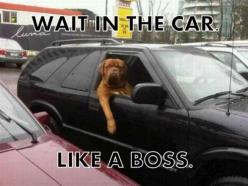 "Is this ""like a boss"" saying the new ""get er done""?? I'm not hip enough to understand.  Explain please.: Like A Boss, Car, Animals, Dogs, Funny Stuff, Humor, Likeaboss"