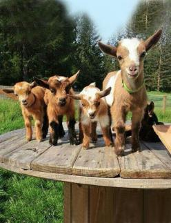 Kids galore!  And yeah, goats can be jerks. But that's what makes them so lovable...(said as a non-goat owner).: Farm Animals, Babies, Creature, Farm Life, Pet, Adorable, Baby Goats, Kid
