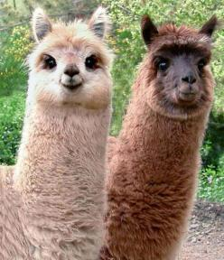 Llamas!: Face, Flames, Animals, So Cute, Pet, Funny, Alpacas, Things, Smile