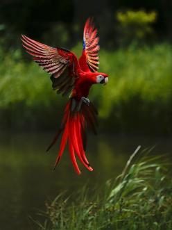 Macaw in Flight by Witoldhippie Why we do not clip feathers in this house.  Yes, other things must be modified, but the experience of flight, and the mental acuity of making decisions on the fly make for very happy parrots here.: Animals, Scarlet Macaw, N