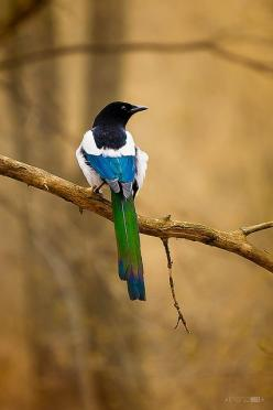 Magpie - love the colors for my feather: Photos, Irene Mei, Posts, Eurasian Magpie, Beautiful Birds, Animal
