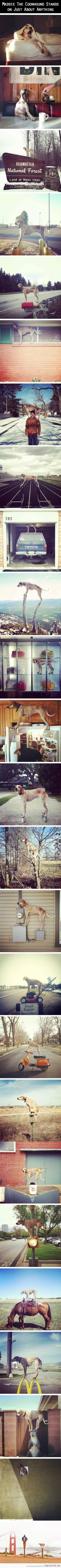Meet Maddie, she likes to stand on things… This will forever make me smile :)!: Animals, Dogs, Things This, Likes, Funny, Coonhound, Meet Maddie