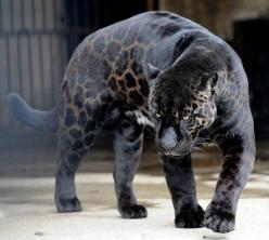 melanism: the opposite of albinism: Black Panther, Animals, Big Cats, Black Jaguar, Beautiful, Panthers, Black Leopard, Bigcat