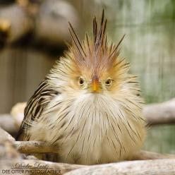 ~~Monday cuckoo ~ Guira cuckoo by DeeOtter~~: Animals, Monday Cuckoo, Monday Morning, Deeotter, Beautiful Birds, Angry Birds