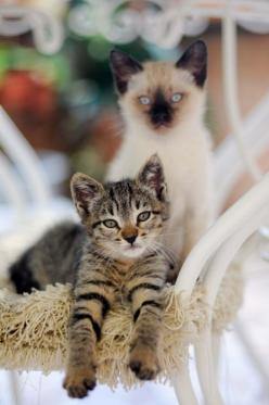 my siamese looked just like this one when he was a kitten...~sigh~ love my lil' snowball head: Kitty Cats, Animals, Beautiful Cats, Pets, Kitty Kitty, Kittens, Baby