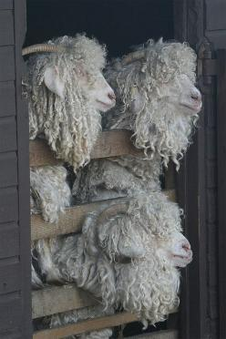 Obviously not sheep, but I totally need some Angora goats on my fiber farm! Even if the idea of shearing these guys make my head hurt.   ready for their 6 monthly shearing  #goatvet: Angora Sheep, Farm Animals, Sheep Goats, Bad Hair, Creatures, Sheep, Lam