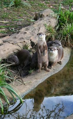 Otter family>>> I love the water reflection.: Adventure, Wild Life, Adorable Animals, Otters, Families, Otter Stream, River Otter, Nature Otter