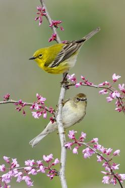 Pine Warbler (male and female) by Alan Murphy: Spring Birds, Adorable Animals, Birds Butterflies, Bird Warblers, Birds Warblers, Birds Photos, Pine Warblers, Beautiful Birds, Bird Brains