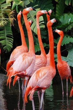 Pink flamingos are born white.  It takes about 3 years to turn pink which is due to their carotenoid rich food.: Pink Flamingos, Tropical Color, Beautiful Birds, Favorite Bird, Flamingo Flock