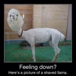 Poor thing! But I laughed:) I could make lots of jokes about who this looks like, starting with me when I haven't brushed my hair:): Picture, Flames, Animals, Feeling Down, Funny Stuff, Shavedllama, Things, Shaved Llama