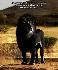 Random Pictures Of The Day - 65 Pics: Black Lion, Wild, Big Cats, Animals, Nature, Beautiful, Creatures, Lions, Black Lion